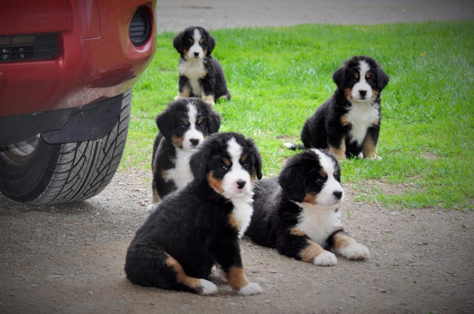 Bernese Mountain Puppies!